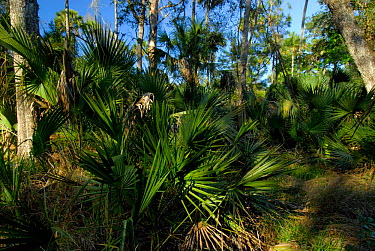 Ocala National Forest, Saw Palmetto (Serenoa repens) in foreground, Florida, USA  -  Adam White/ npl