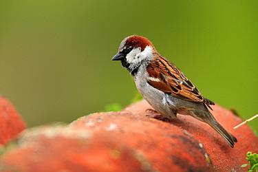House Sparrow (Passer domesticus) male perching on roof tiles, Quintana de la Serena, Badajoz, Extremadura, Spain  -  Jose B. Ruiz/ npl