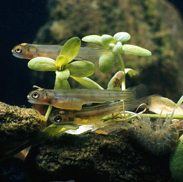 Brown Trout (Salmo trutta) three, four-weeks-old alevins with freshwater Shrimp (Gammarus sp), captive, from Europe, life cycle sequence 10, 14  -  Jane Burton/ npl