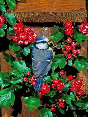 Blue Tit (Parus caeruleus) bringing food to chicks at nestbox entrance amongst red Hawthorn flowers, Wales, United Kingdom  -  Dave Bevan/ npl