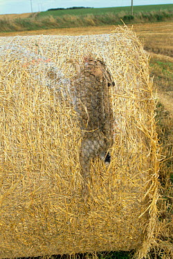 European Hare (Lepus europaeus) caught in bale by straw baler Scotland United Kingdom  -  Brian Lightfoot/ npl