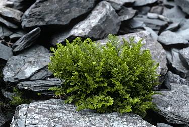 Parsley fern (Cryptogramma crispa) growing in dry stone wall, UK  -  Adrian Davies/ npl