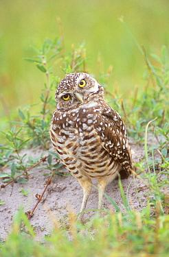 Burrowing Owl (Athene cunicularia), Cape Coral, Florida  -  Rob Tilley/ npl