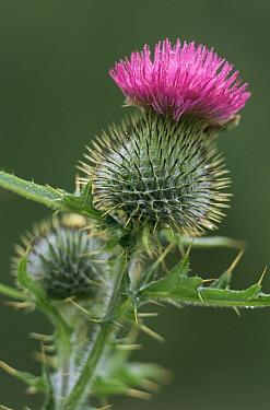 Woolly thistle flower (Cirsium eriophorum) Highlands, Scotland  -  Pete Cairns/ npl