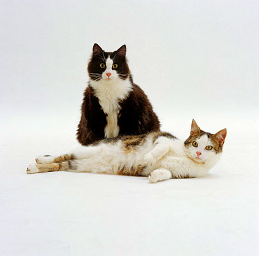 Domestic Cat (Felis catus) overweight 'Fat Felix' and his plump friend 'Lily'  -  Jane Burton/ npl