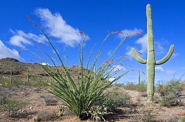 Ocotillo (Fouquieria splendens) in bloom and Saguaro cactus (Carnegiea gigantea), Organ Pipe Cactus National Monument, Arizona  -  Philippe Clement/ npl