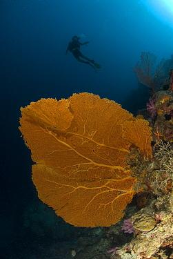 Gorgonian sea fan (Gorgonacea) with diver in the background Rowley Shoals, Western Australia  -  Jurgen Freund/ npl