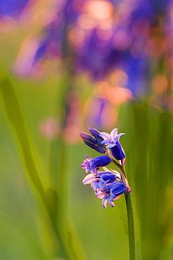 Bluebells (Endymion nonscriptus) backlit at sunset, UK  -  Michael Hutchinson/ npl