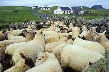 Domestic Sheep (Ovis aries) gathered ready for shearing, Shetland Islands, Scotland United Kingdom  -  Jouan & Rius/ npl