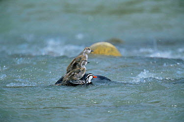 Torrent duck male with chicks (Merganella armata) Torres del Paine NP, Chile  -  Hermann Brehm/ npl