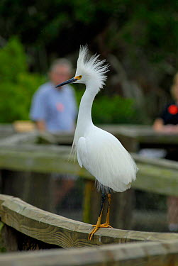 Snowy Egret (Egretta thula) breeding plumage, Florida  -  Adam White/ npl