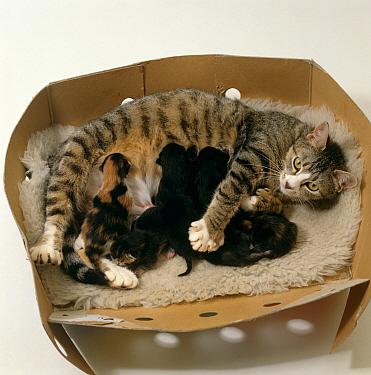 Domestic Cat (Felis catus) female kneading as she suckles her kittens  -  Jane Burton/ npl