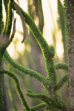 Octopus tree (Didierea trollii) Spiny desert, Madagascar  -  Patricio Robles Gil/ npl