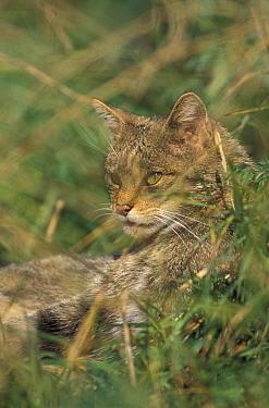 Wild Cat (Felis silvestris) captive, United Kingdom  -  Andrew Harrington/ npl