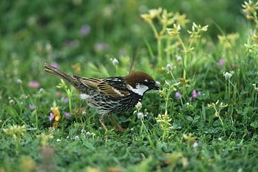 Spanish Sparrow (Passer hispaniolensis) feeding on ground, Island of Lesbos, Greece  -  George Mccarthy/ npl