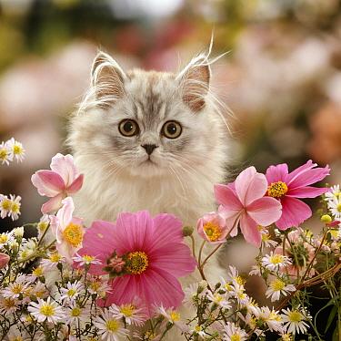 Domestic Cat (Felis catus) Silvertabby kitten 'Cosmos' among Michaelmas dasies, Japanese Anemones and Cosmos dasies  -  Jane Burton/ npl