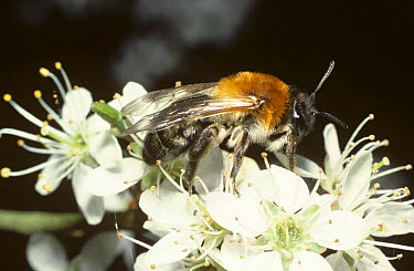 Solitary mining bee (Andrena nitida ssp pubescens)on Blackthorn blossom in early spring, UK  -  Premaphotos/ npl