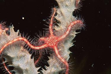 Suenson's Brittle Star (Ophiothrix suensonii) on sponge, Cuba, Caribbean  -  Jurgen Freund/ npl