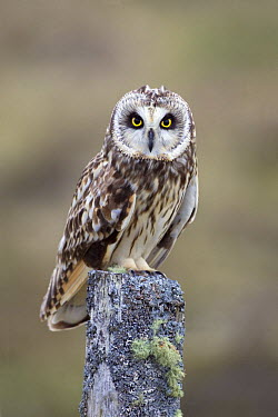 Short-eared Owl (Asio flammeus) perched on lichen-covered post, North Uist, Outer Hebrides, Scotland  -  David Kjaer/ npl
