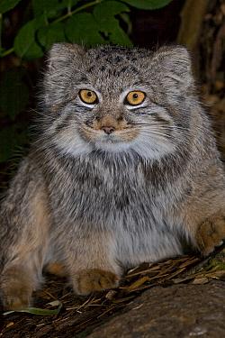 Young Pallas's Cat (Otocolobus manul) portrait, captive  -  Rod Williams/ npl