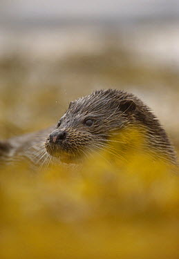 European River Otter (Lutra lutra) partially concealed by seaweed, Isle of Mull, Scotland United Kingdom  -  Andrew Parkinson/ npl