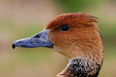 Fulvous Whistling Duck (Dendrocygna bicolor) head profile, captive, Somerset, United Kingdom  -  John Waters/ npl