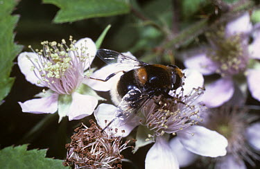 Bumble bee drone fly, a hover fly (Eristalis intricarius) on a bramble flower, UK  -  Premaphotos/ npl