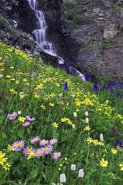 Waterfall and wildflowers in alpine meadow, Showy Daisy (Erigeron speciosus), Heartleaf Arnica, Tall Larkspur and Bistort; Ouray, San Juan Mountains, Rocky Mountains, Colorado, USA, July 2007  -  Rolf Nussbaumer/ npl