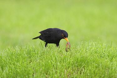 Eurasian Blackbird (Turdus merula) male feeding on worm on lawn, United Kingdom  -  Dave Bevan/ npl