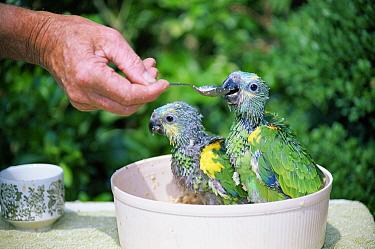Blue-fronted Parrot (Amazona aestiva) nestlings 6-weeks, hand reared for pet trade, United Kingdom  -  William Osborn/ npl