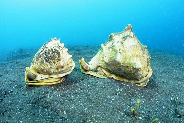 Horned helmet snails (Cassis cornuta) Sulawesi, Indonesia  -  Constantinos Petrinos/ npl