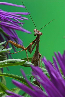 Tanzanian Bush Mantis (Polyspilota sp) on flower, Captive  -  Simon Colmer/ npl