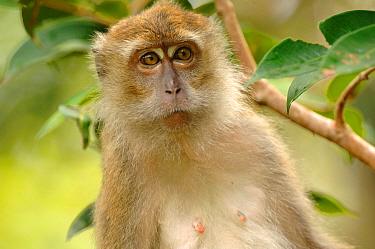 Long-tailed Macaque (Macaca fascicularis) Tanjung Puting National Park, Indonesia  -  David Pike/ npl