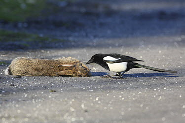 Black-billed Magpie (Pica pica) feeding on dead rabbit beside road, pecking out the eye, Carmarthenshire, Wales, United Kingdom  -  Dave Bevan/ npl