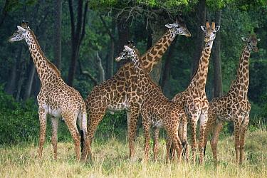 Giraffe (Giraffa camelopardalis) family group at edge of woodland, Masai Mara GR, Kenya  -  Anup Shah/ npl