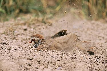 Red-legged Partridge (Alectoris rufa) dust bathing Worcestershire, United Kingdom  -  Mike Wilkes/ npl