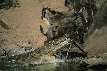 Nile Crocodile (Crocodylus niloticus) attacking Wildebeest on the banks of the Grumeti River, Serengeti, Tanzania  -  Anup Shah/ npl