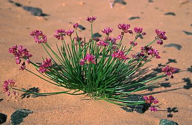 Gobien wild onion plant flowering on the Gobi Desert, Mongolia  -  Konstantin Mikhailov/ npl