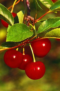 Cherries on Cherry tree (Prunus cerasus) Wisconsin, USA  -  Larry Michael/ npl