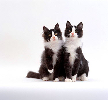 Domestic Cat (Felis catus) 12-week identical brothers, Black-and-white kittens 'Felix' and 'Felix'  -  Jane Burton/ npl