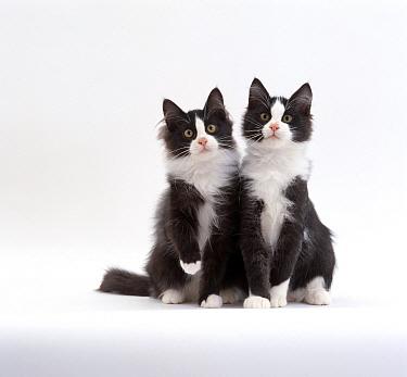 Domestic Cat (Felis catus) 12-week identical brothers, Black-and-white kittens 'Felix' and 'Felix'  -  Jane Burton/ npl