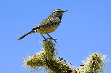 Cactus Wren (Campylorhynchus brunneicapillus) perched on Chain fruit, Jumping cholla (Cylindropuntia fulgida) Organ Pipe Cactus National Monument, Arizona  -  Philippe Clement/ npl