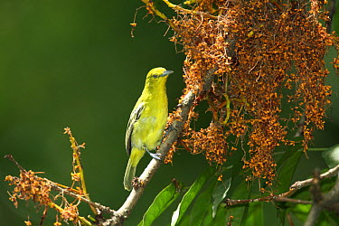 Common iora (Aegithina tiphia) Bogor, Java, Indonesia  -  Hanne & Jens Eriksen/ npl