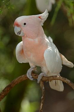 Major Mitchell's Cockatoo (Cacatua leadbeateri) Victoria, Australia  -  Roger Powell/ npl