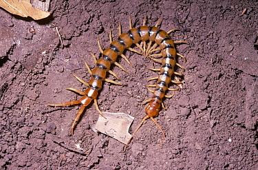 Giant Desert Centipede (Scolopendra heros) in desert, Arizona  -  Premaphotos/ npl