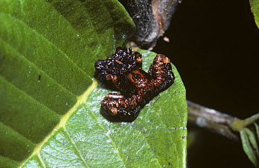 Warty bird-dropping spider (Phrynarachne rugosa: Thomisidae) in rainforest, Madagascar  -  Premaphotos/ npl