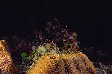 Sponge (Ectyoplasia ferox) releasing eggs Bahamas  -  Doug Perrine/ npl