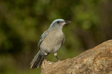 Mexican Jay (Aphelocoma ultramarina) juvenile, Arizona  -  Rolf Nussbaumer/ npl