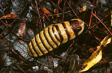Hissing cockroach (Elliptorhina javanica) at night in tropical dry forest, Madagascar  -  Premaphotos/ npl
