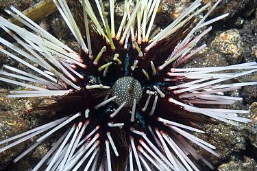Calamari sea urchin (Echinothrix calamaris) Lembeh Strai, North Sulawesi, Indonesia  -  Georgette Douwma/ npl